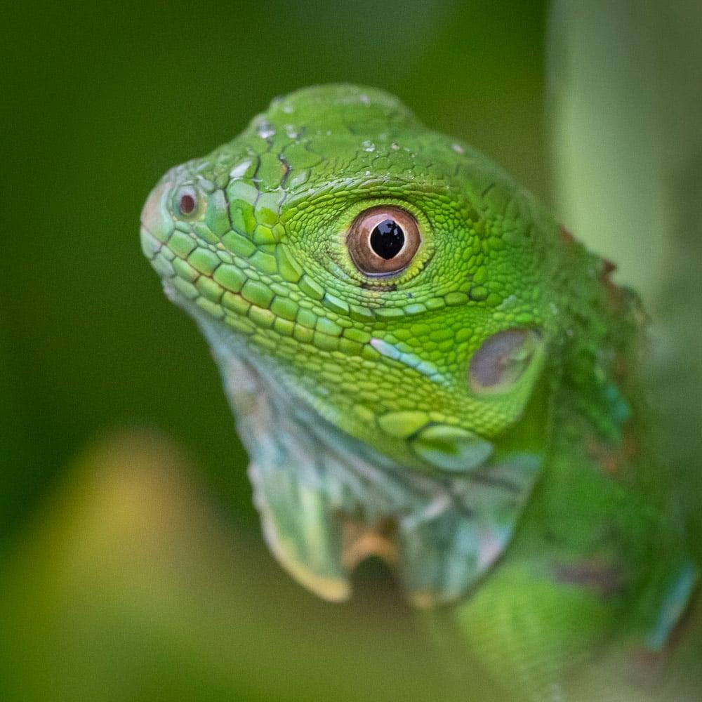 Costa Rica Leguan Basilik